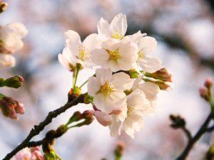 Bunga Sakura, Si Cantik Dari Negeri Para Samurai