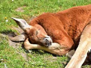 Kanguru Merah Bisa Mengalahkan Kuda Balap