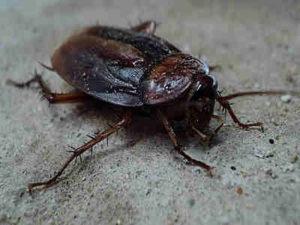 7 Fakta Unik Tentang Kecoa Selain Bisa Digunakan Untuk Lomba Balap