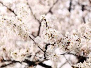 Hanami – Berpesta Sambil Memandang Keindahan Sakura