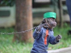 Topeng Monyet : Pilih Mana Manusia atau Hewan