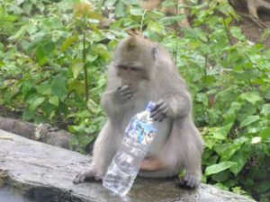 Waspada! Monyet Nakal di Pura Uluwatu Sering Mencopet Benda-Benda dari Wisatawan