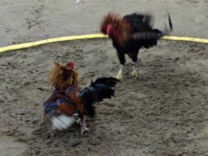 Menonton Atraksi Sabung Ayam (Adu Ayam) di Nusa Lembongan, Bali