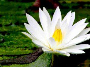 Cantiknya si Nymphaea Alba – Si Teratai Putih