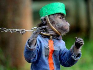 Wajah Monyet Ini Menyiratkan Penderitaan