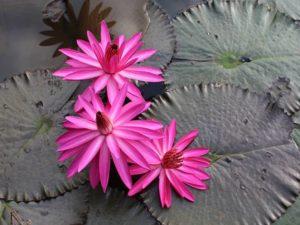[Foto] Moleknya Bunga Teratai Merah / Pink – Nymphaea Rubra