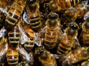 30 Fakta Menarik Lebah Madu – Mana Yang Sudah Anda Tahu?