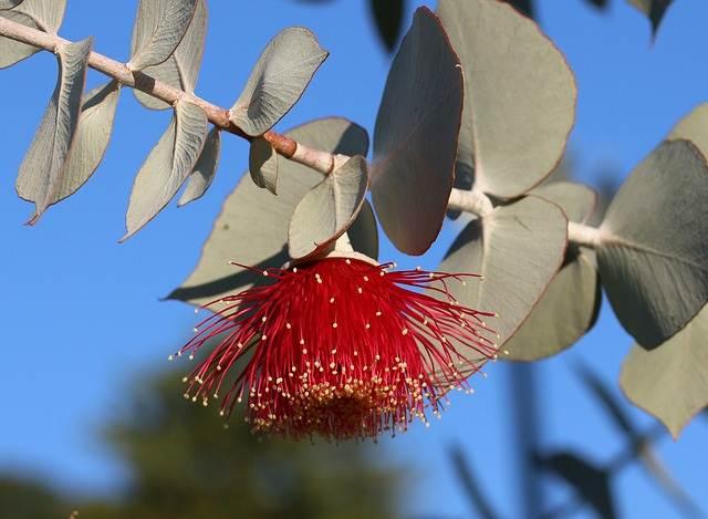 7 Fakta Menarik Tentang Pohon Eucalyptus (Eukaliptus) - Bunga Eucalyptus