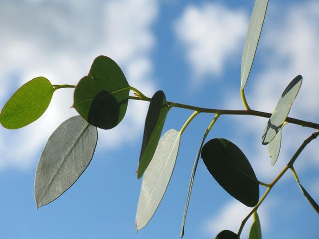 daun eucalyptus