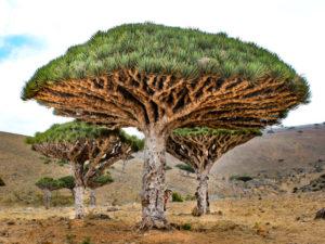 23 Fakta Tentang Pohon Darah Naga (Dracaena Cinnabari)