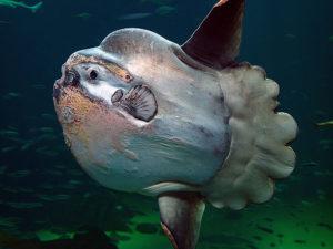 Mola-Mola atau Sunfish : Si Ikan Matahari Yang Suka Berjemur dan Penuh Parasit