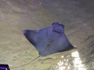 16 Fakta Menarik Tentang Ikan Pari Manta atau Manta Ray