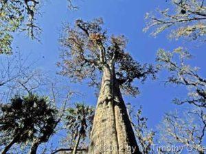 The Senator : Pohon Paling Panjang Umur