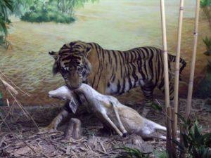Diorama Harimau Menyeret Mangsanya – Museum Satwa, Jatim Park #5