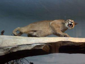 Diorama Puma Mengaum – Museum Satwa Jatim Park #9