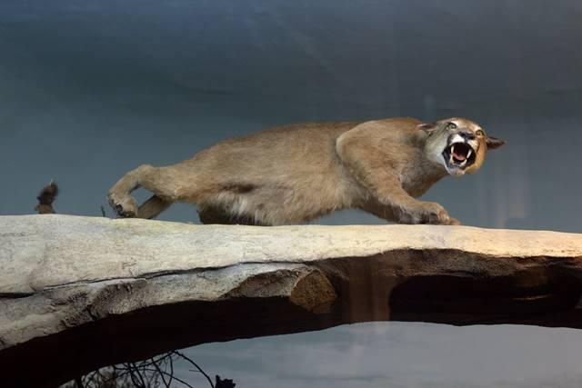 Diorama Puma Mengaum - Museum Satwa Jatim Park #9