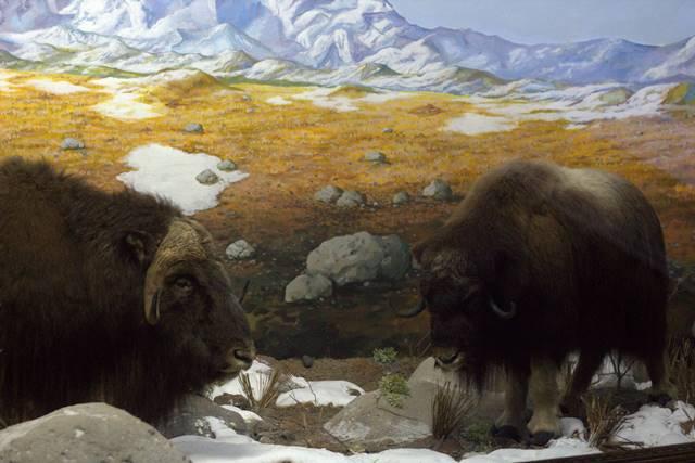 Diorama Yak Si Lembu Jantan Berbulu Lebat - Museum Satwa Jatim park #8
