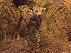 Diorama Kawanan Cheetah Mengintai Mangsa – Museum Satwa, jatim Park #10