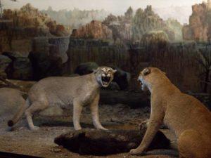 Diorama Singa Betina Bertarung – Museum Satwa Jatim Park #7