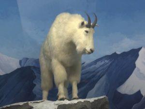 Diorama Kambing Gunung Rocky Mountain – Museum Satwa Jatim Park #15