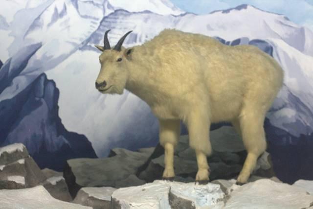 Diorama Kambing Gunung Rocky Mountain - Museum Satwa Jatim Park #15