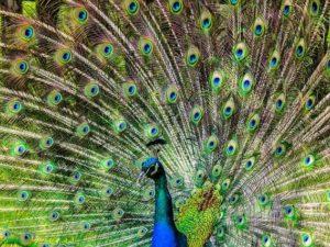 Burung Merak Hanya Cantik Karena Warna Bulunya ? Bagaimana Kalau Tanpa Warna?