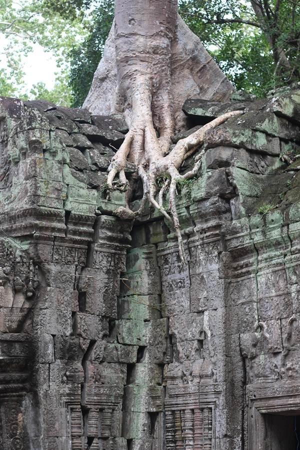 Melihat Pohon Raksasa Tumbuh Di Atas Candi