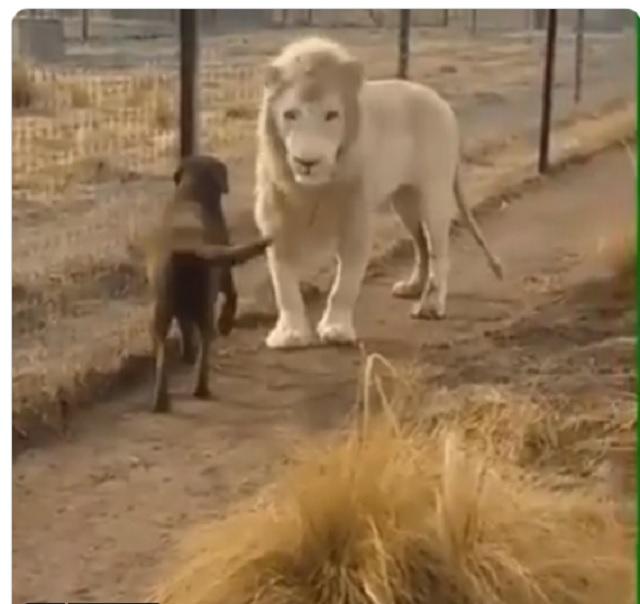 [VIDEO] Persahabatan Singa Dan Anjing, Mungkinkah ?