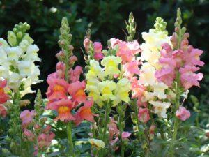 Bunga Naga, Bunga Mulut Singa , Atau Bunga Tengkorak – Terserah Saja