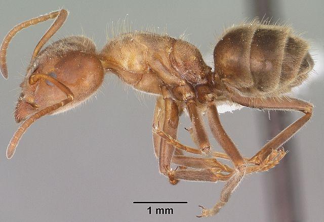 Escamole : Ketika Telur Dan Larva Semut Jadi Santapan