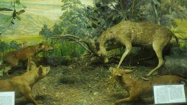 Rusa Berjuang Mempertahankan Diri Dari Anjing Hutan