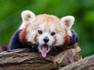 Panda Merah Sepupu Panda Raksasa? Muke Loe Jauh!