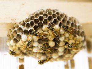 Mengapa Bentuk Heksagonal yang Lebah Pilih Untuk Sarangnya?